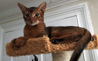 Abyssinian Male Cat - Anubis Ricky Martini of PureAbby